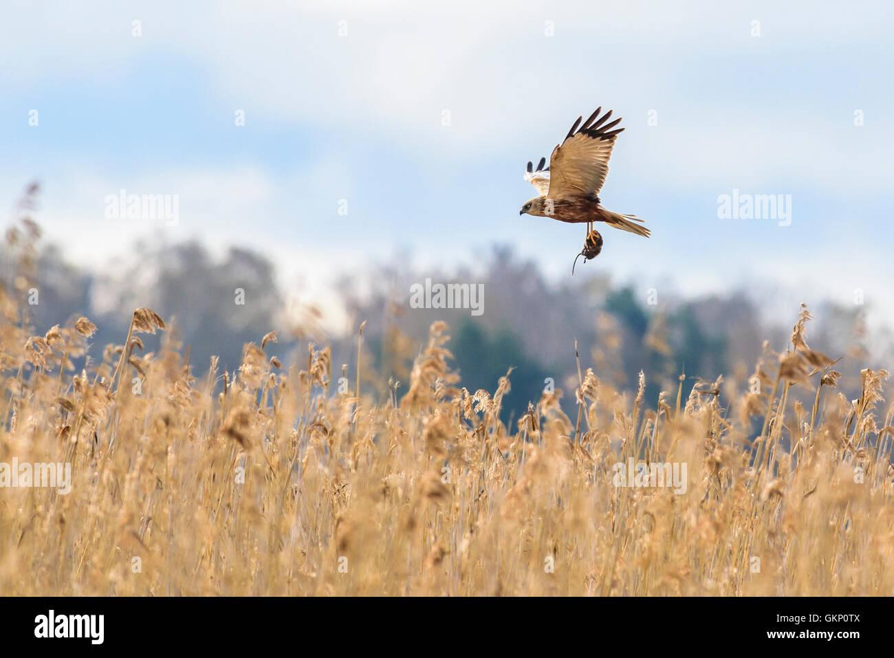 rovfågel, brun kärrhök, fågel, jagar, vass, sjö, sork, råtta ...
