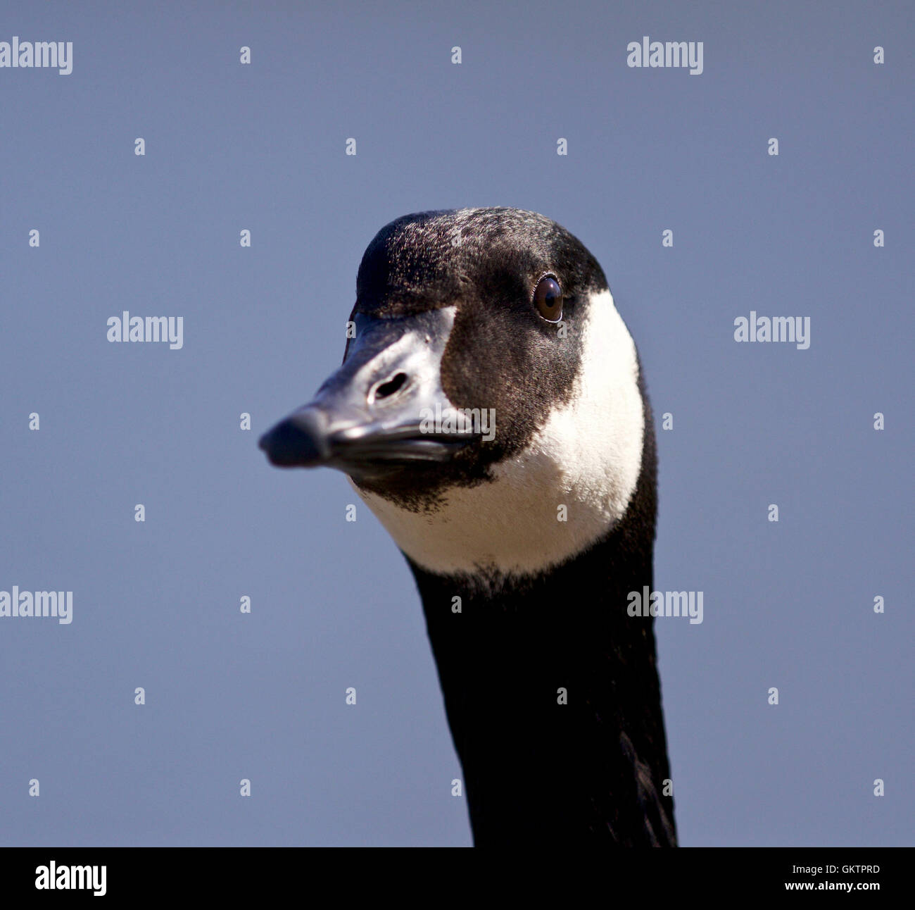 Isolated image with a cute canada goose stock photo royalty free isolated image with a cute canada goose biocorpaavc Gallery