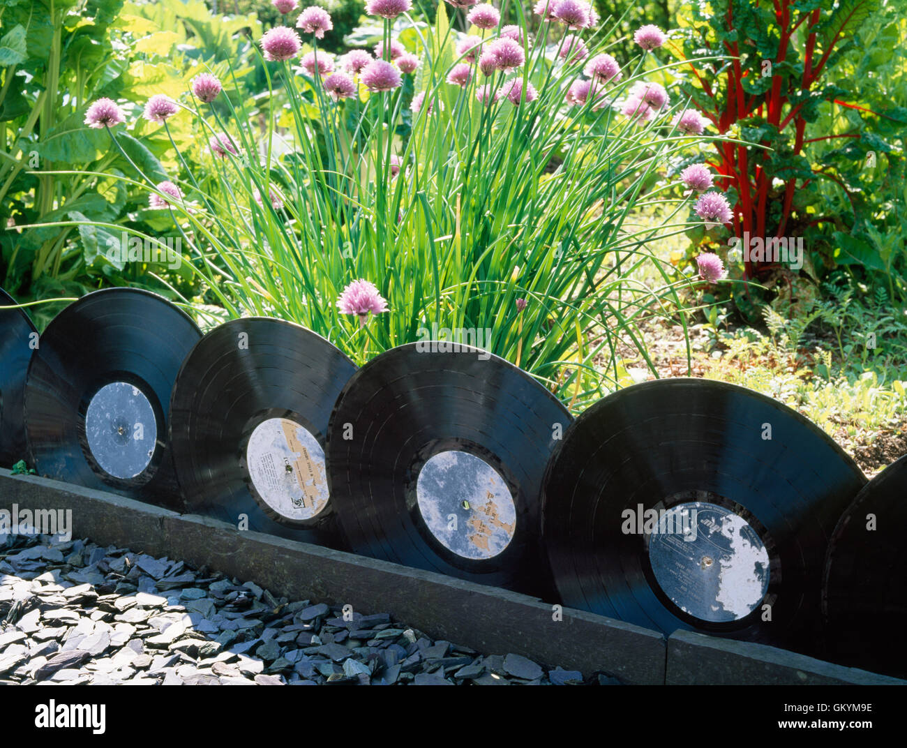 Old Vinyl Records Used As Edging To Border A Vegetable Patch. Caernarfon,  North Wales