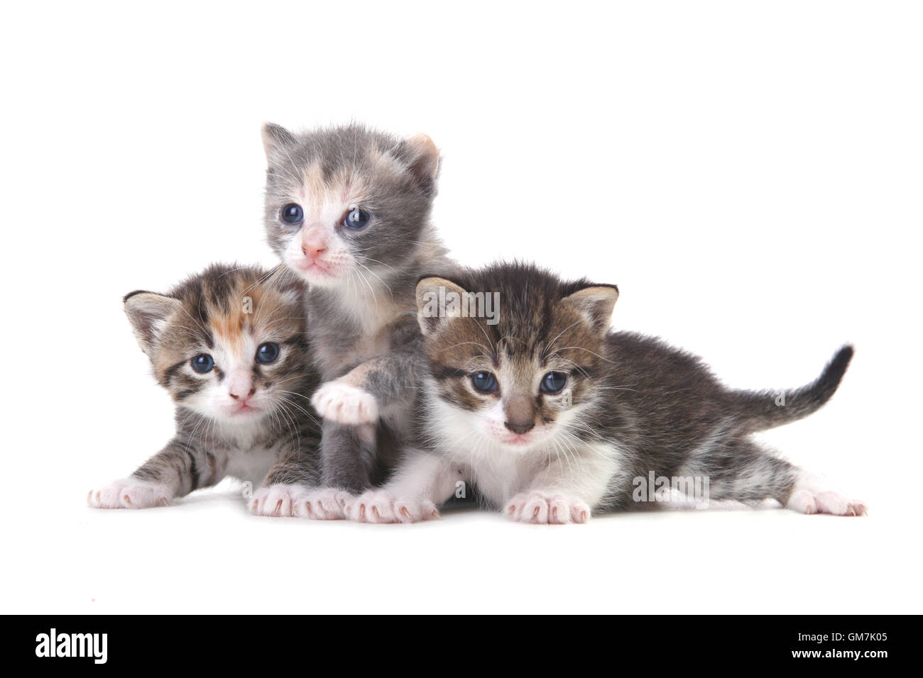 Three Baby Kittens on a White Background Stock Royalty Free