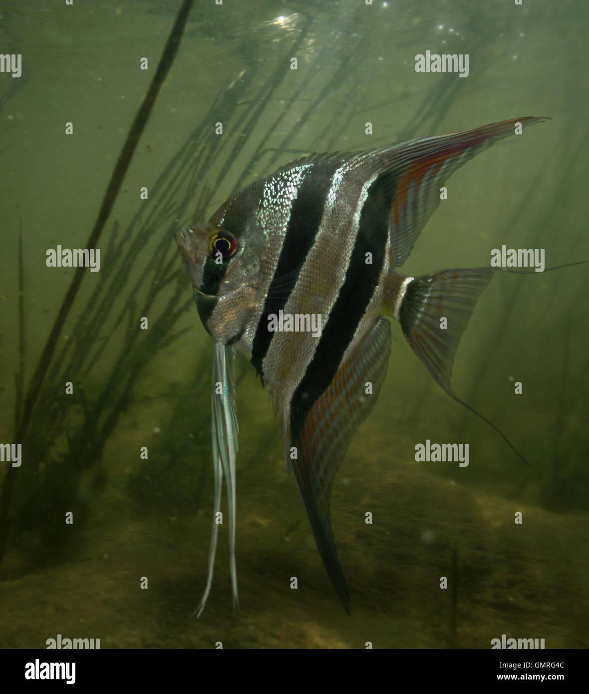 Altum Angelfish, Pterophyllum Altum Stock Photo, Royalty
