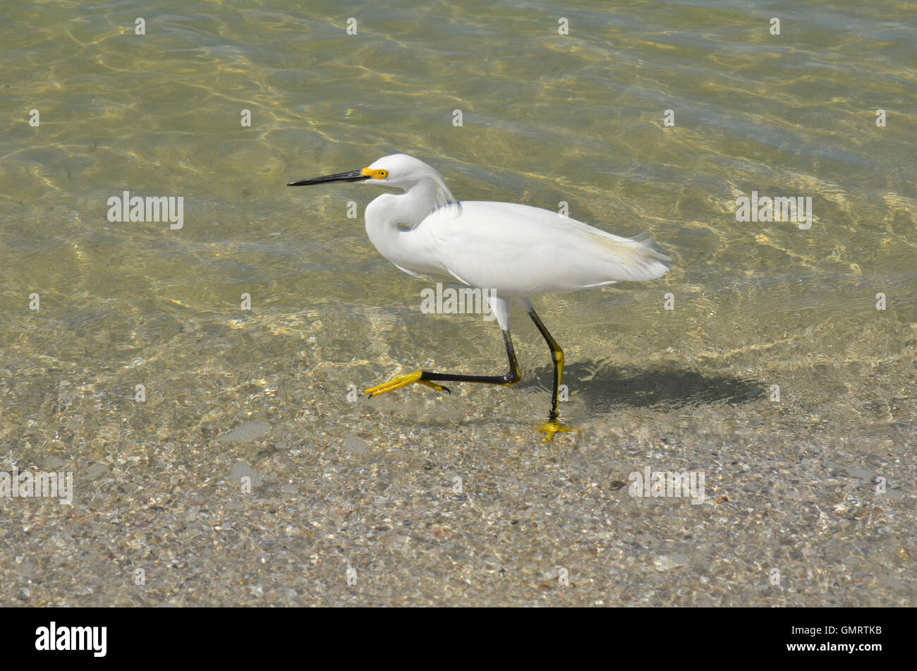 egret walking in shallow ocean water on the beach stock