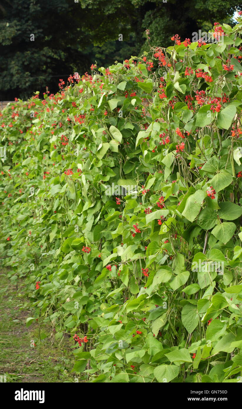 Kitchen Garden Plants Runner Bean Kitchen Garden Stock Photos Runner Bean Kitchen
