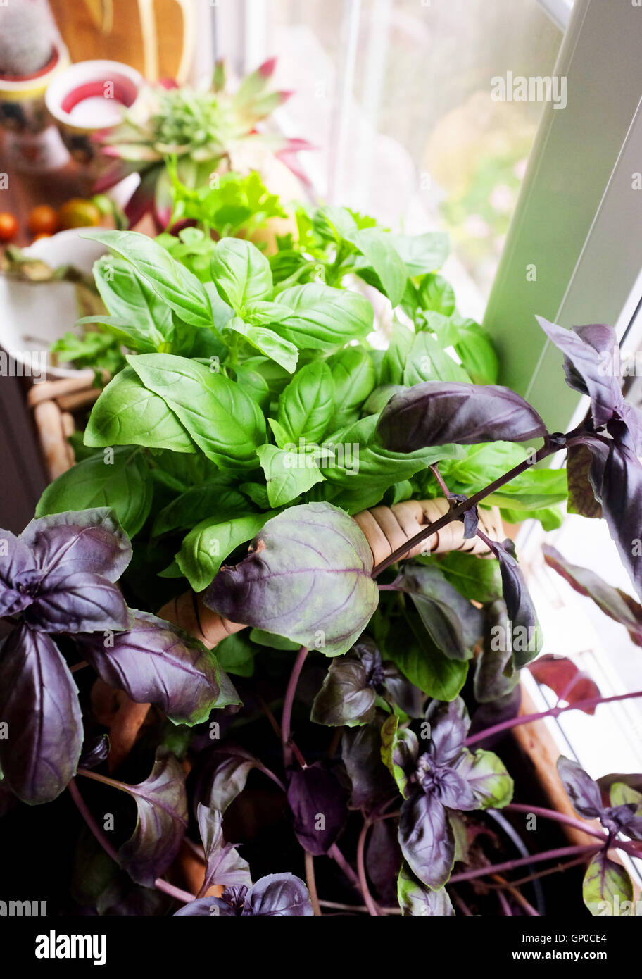 Green and purple basil herbs growing in pots on kitchen Kitchen windowsill herb pots