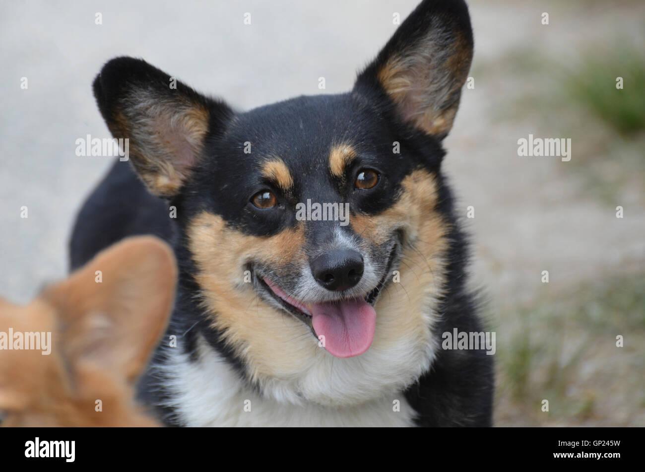 fluffy black and tan welsh corgi dog face stock photo