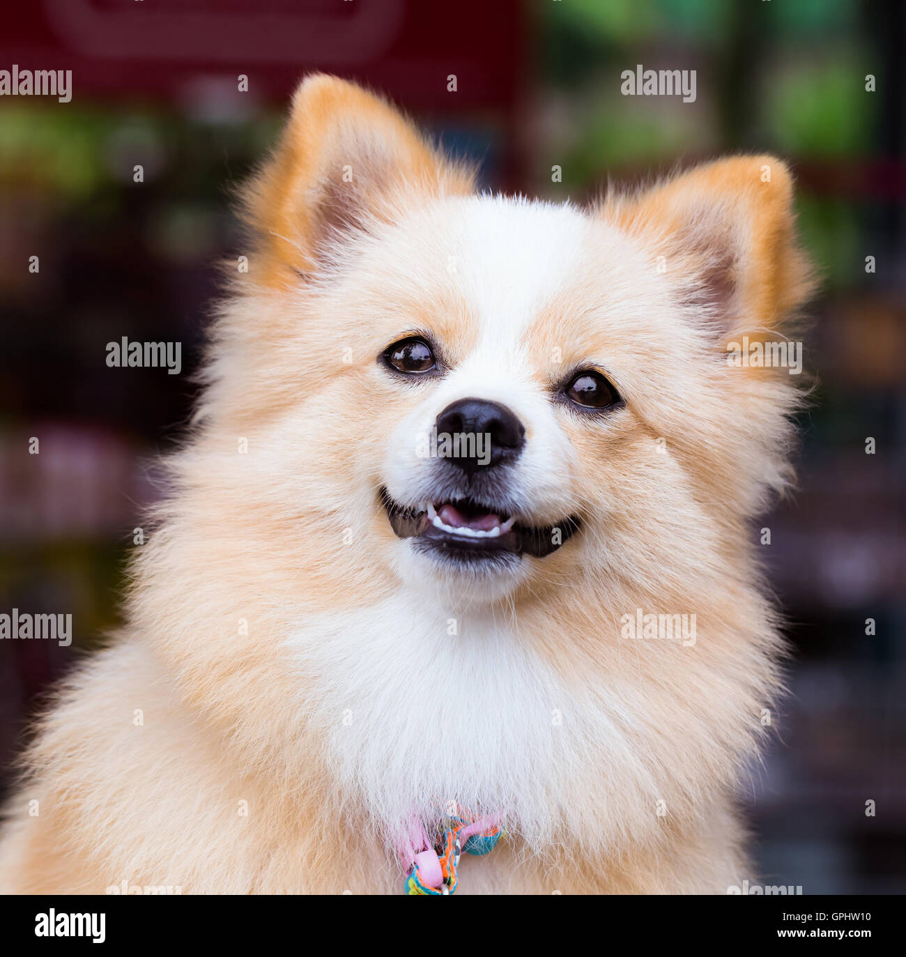 Pomeranian Chihuahua mix dog with brown Sarawasi standing ...