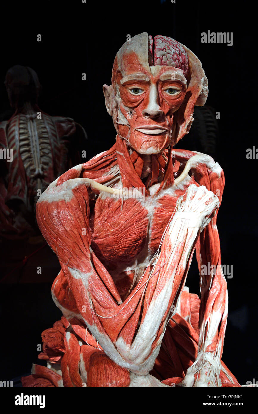 plastinate, human body, man sitting, body worlds, menschen museum, Muscles