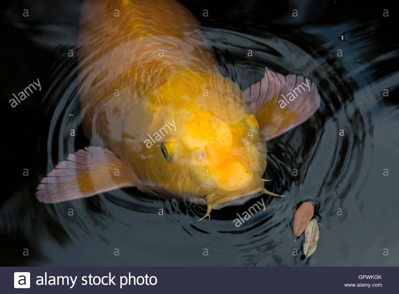 Close up of large solitary yellow koi fish with whiskers for Koi fish large