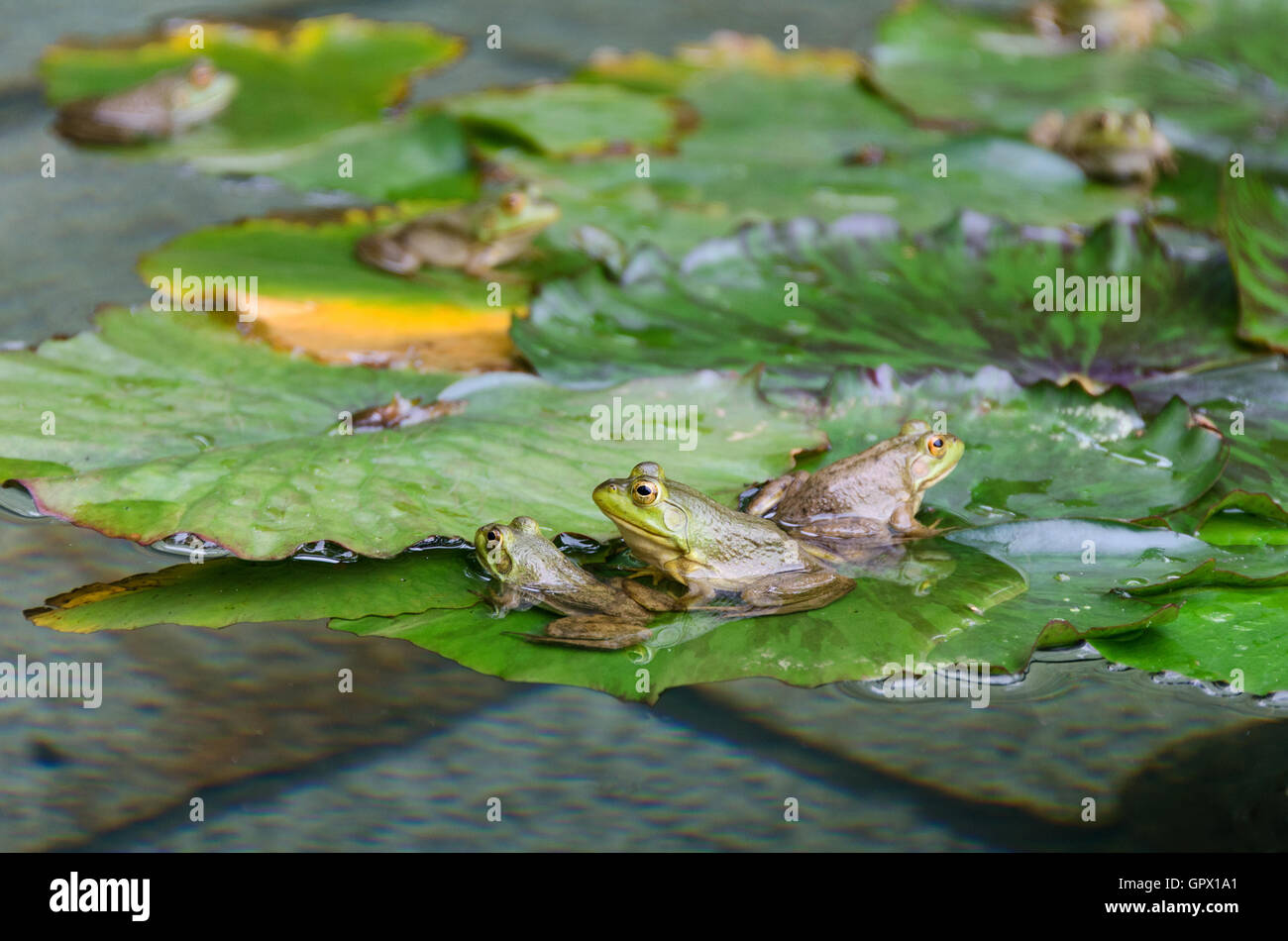 Six Green Frogs Rana clamitans melanota on lily pads in a garden