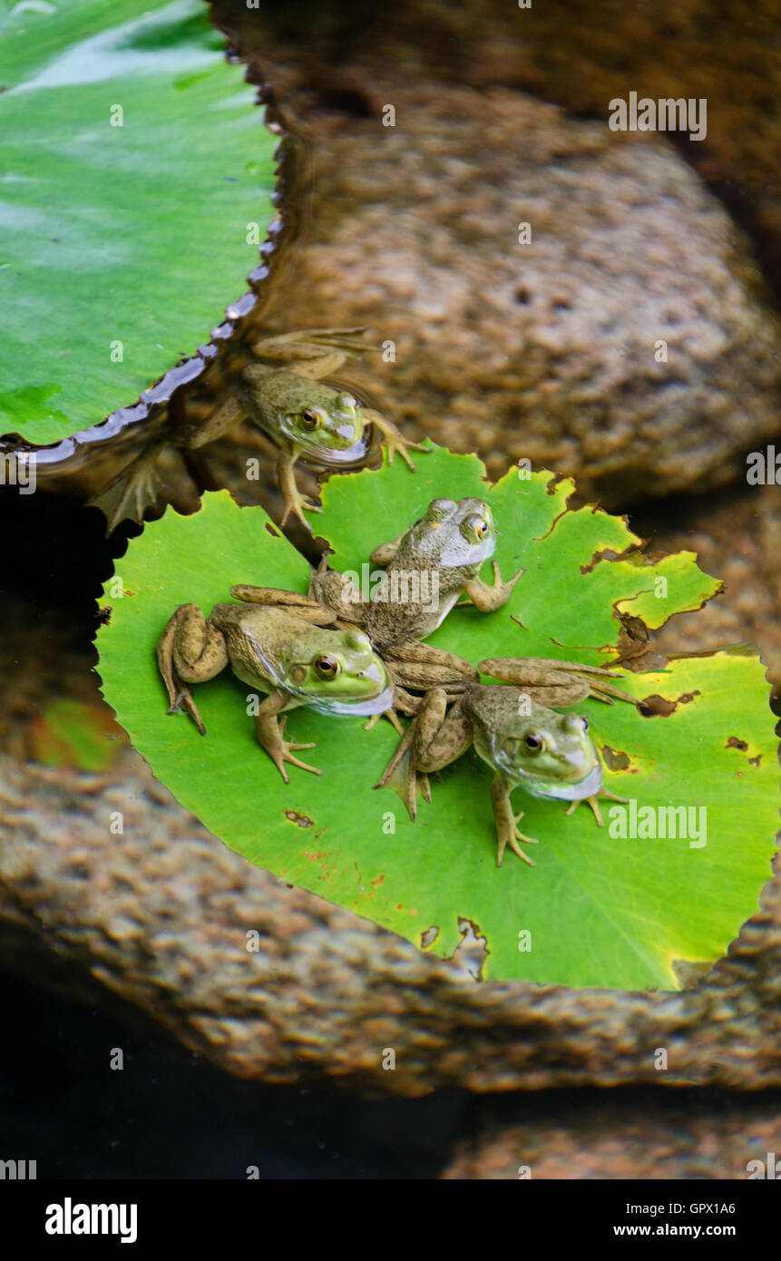 four green frogs rana clamitans melanota on a lily pad in a