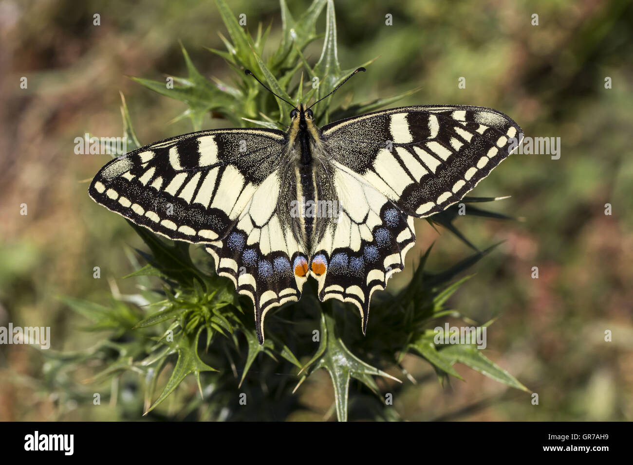 Papilio Machaon Swallowtail Butterfly From Italy Europe