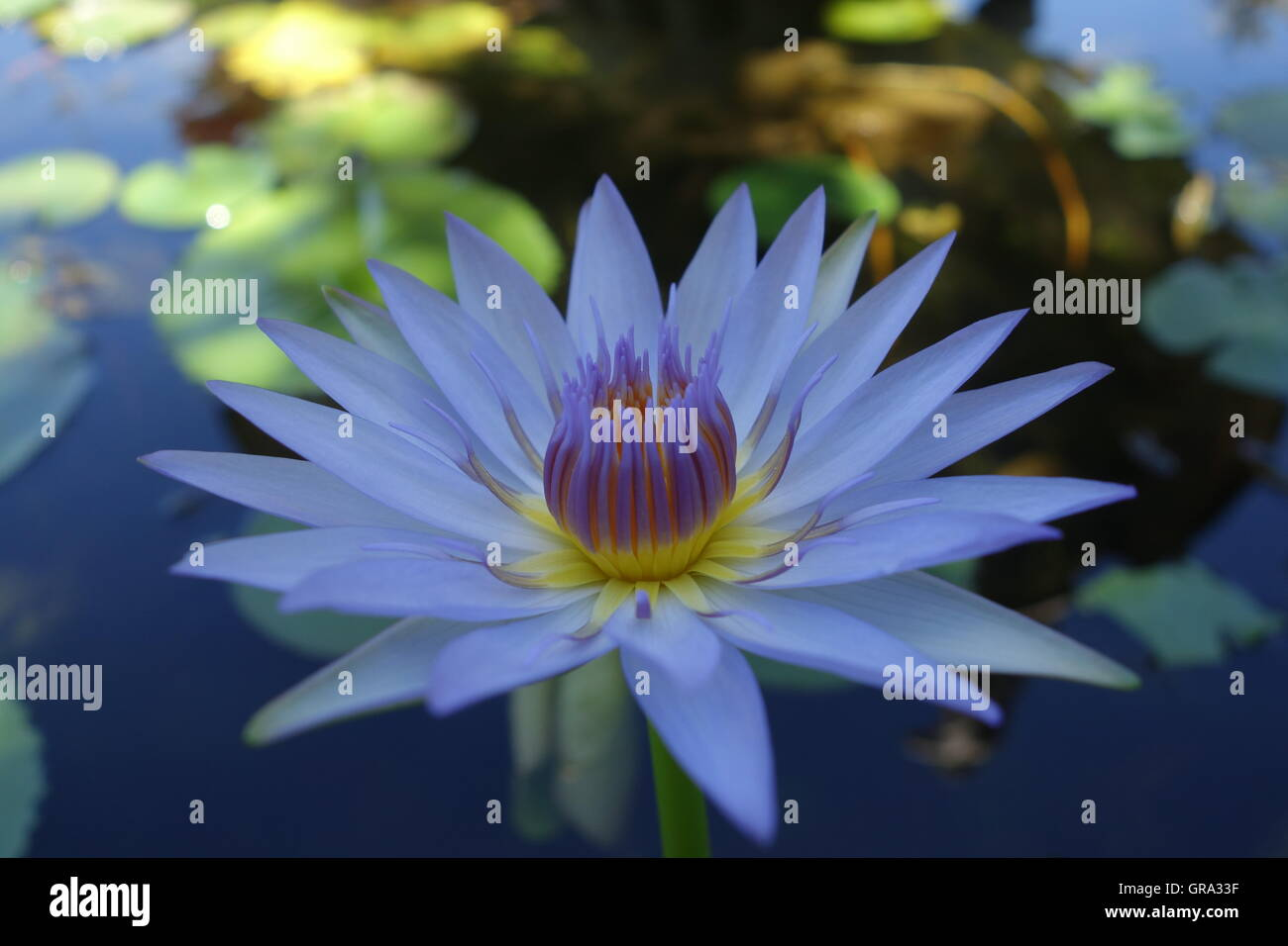 Blue lotus flower in a pond near wat chalong phuket thailand blue lotus flower in a pond near wat chalong phuket thailand dhlflorist Images