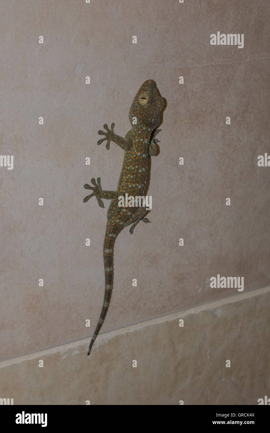 Tokay gecko on ceramic tiles covered wall stock photo royalty tokay gecko on ceramic tiles covered wall dailygadgetfo Gallery