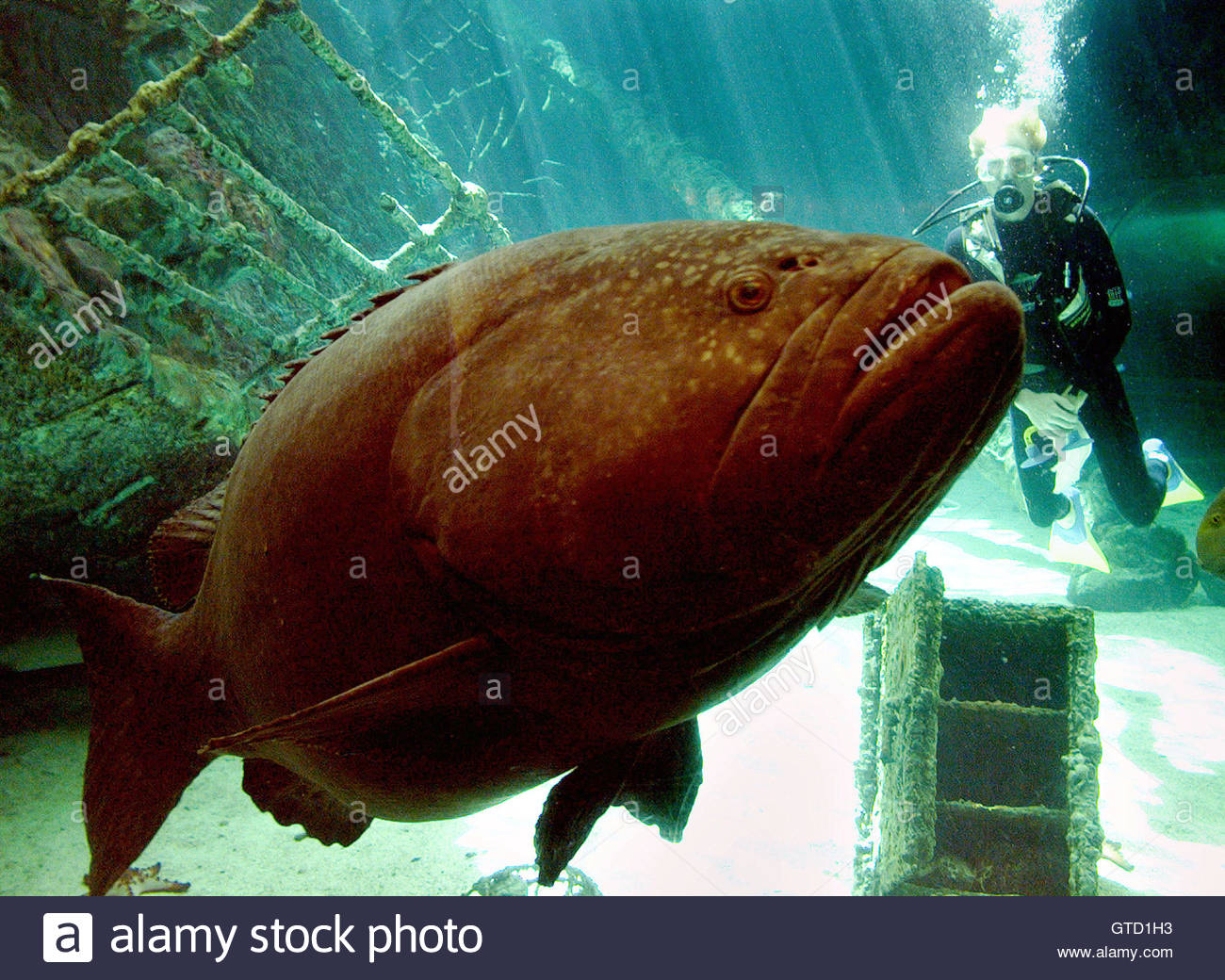 Fish tank queensland - A Giant 200 Kilogram Queensland Grouper Named Dominator Swims Past A Diver In The Great Barrier