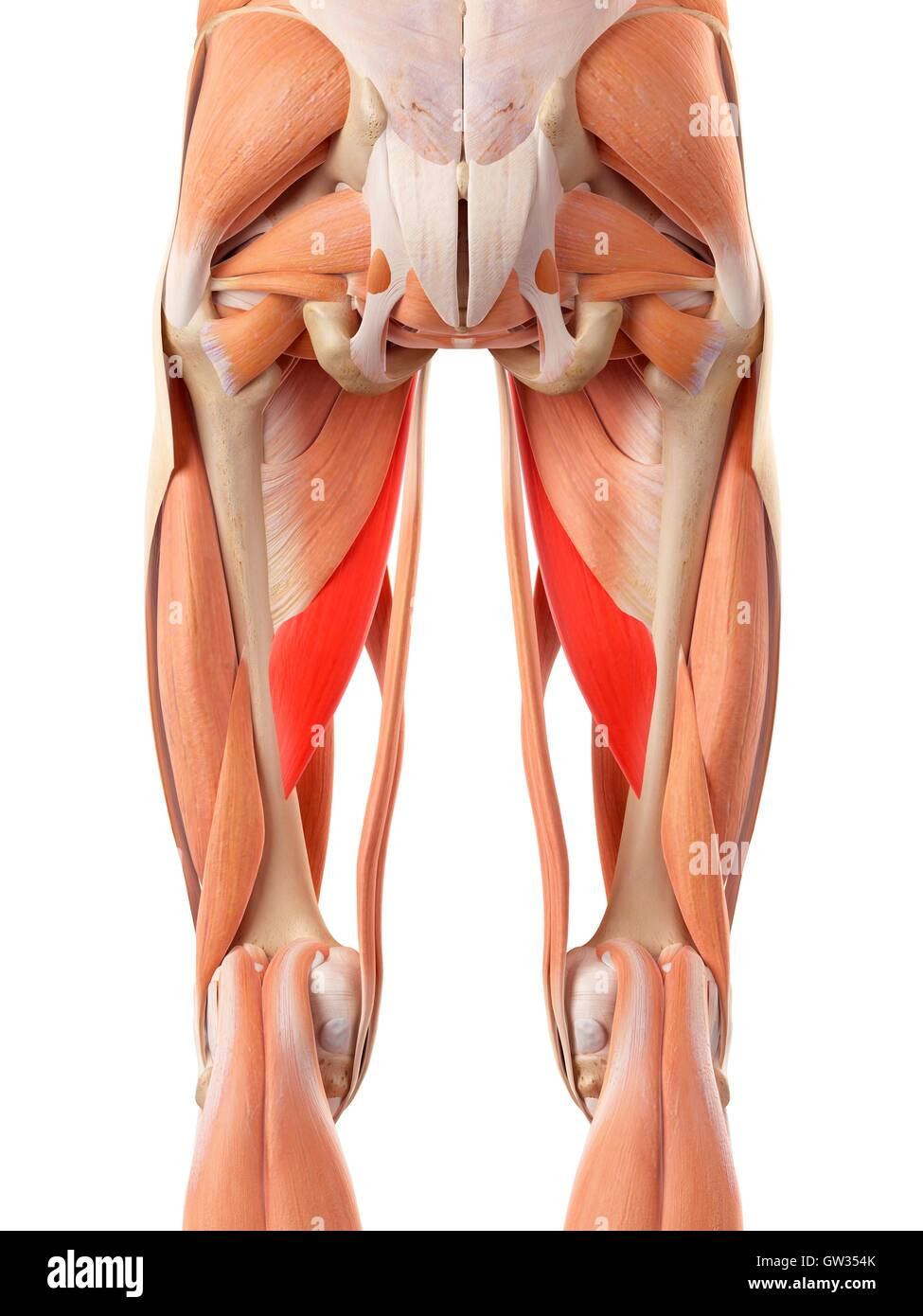 human muscular system of the legs, illustration stock photo, Muscles