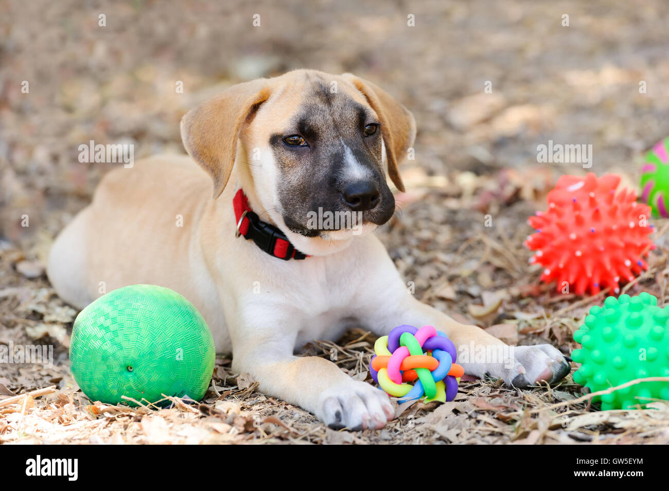 Dog toys is a cute happy adorable puppy playing with his toys