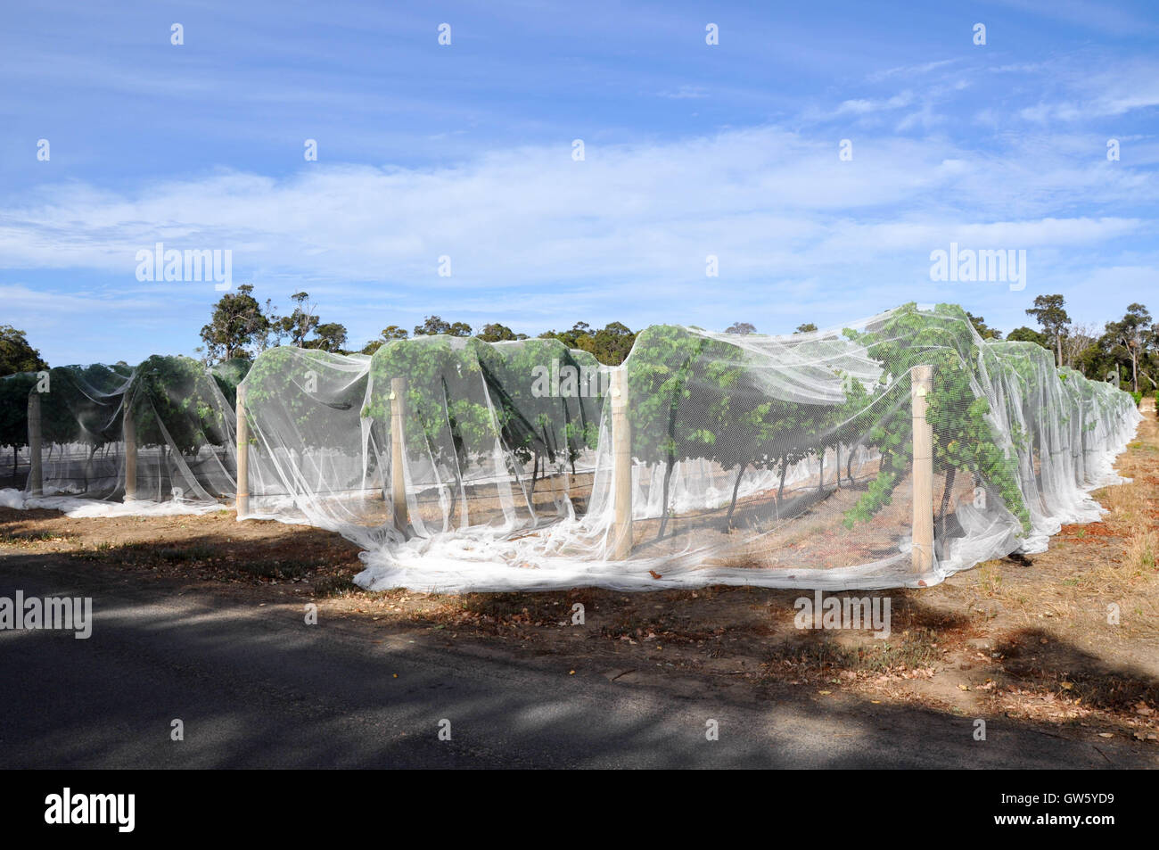 Vineyard rows the vine canopy covered in white bird netting under a blue sky with clouds in Western Australia & Vineyard rows the vine canopy covered in white bird netting under ...