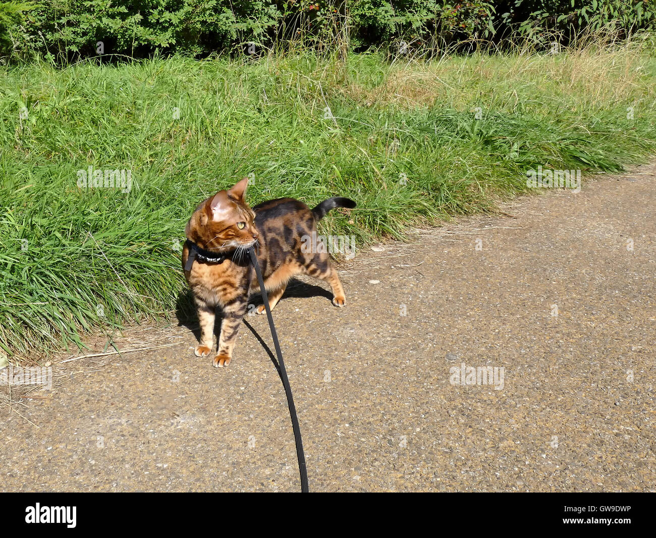 Bengal cat on a harness and leash on a stroll outside Stock Photo ...