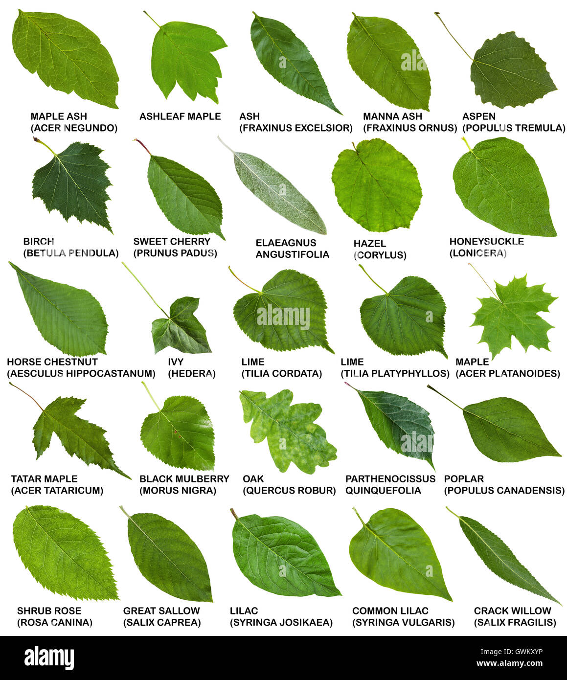 Green Leaves Of Trees And Shrubs With Names Isolated On