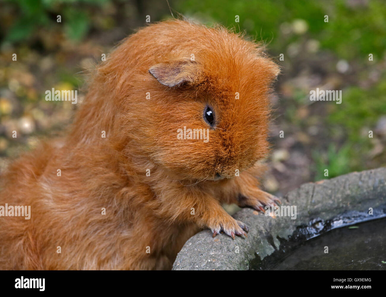Golden guinea pig stock photos golden guinea pig stock images golden guinea pig cavia porcellus at drinking bowl stock image jeuxipadfo Gallery