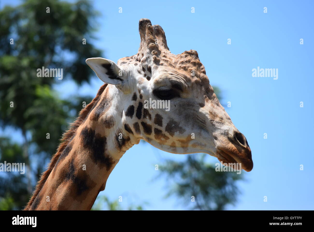 giraffe portrait at aurora zoo guatemala stock photo royalty