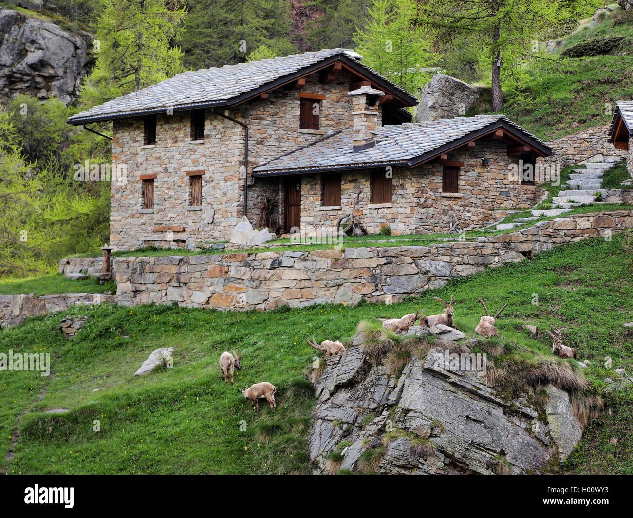 Alpen-Steinbock, Alpensteinbock (Capra ibex, Capra ibex ibex ... | {Herde 10}