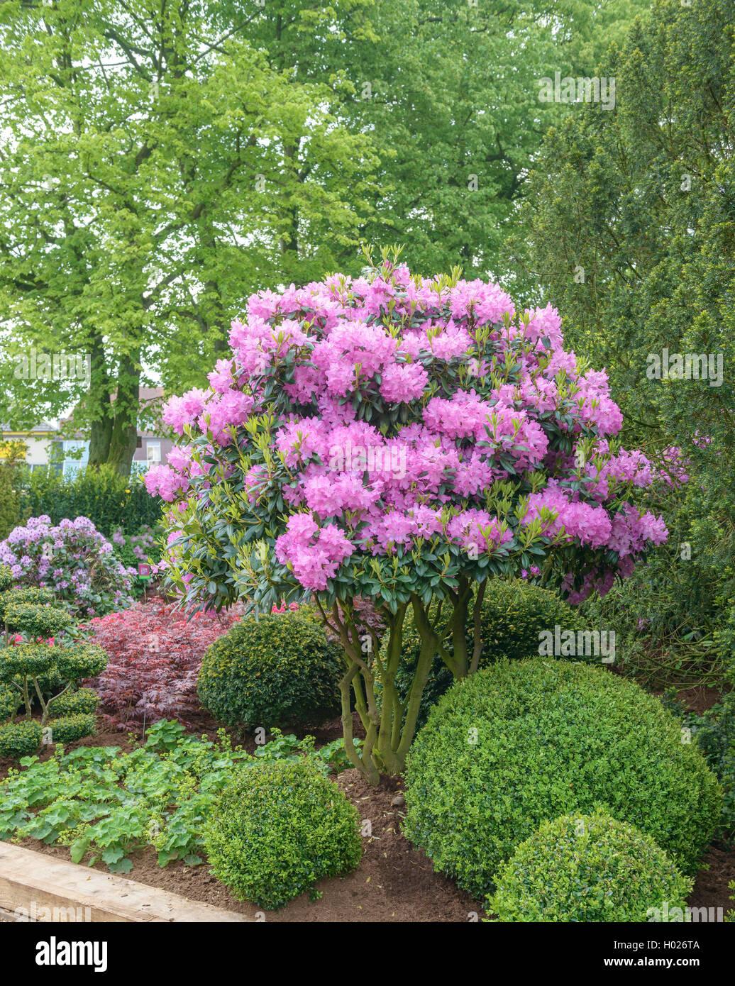 grossbluetiger rhododendron rhododendron roseum elegans. Black Bedroom Furniture Sets. Home Design Ideas