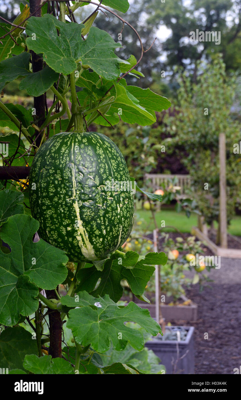 fig leaf gourd cucurbita ficifolia growing in vegetable garden