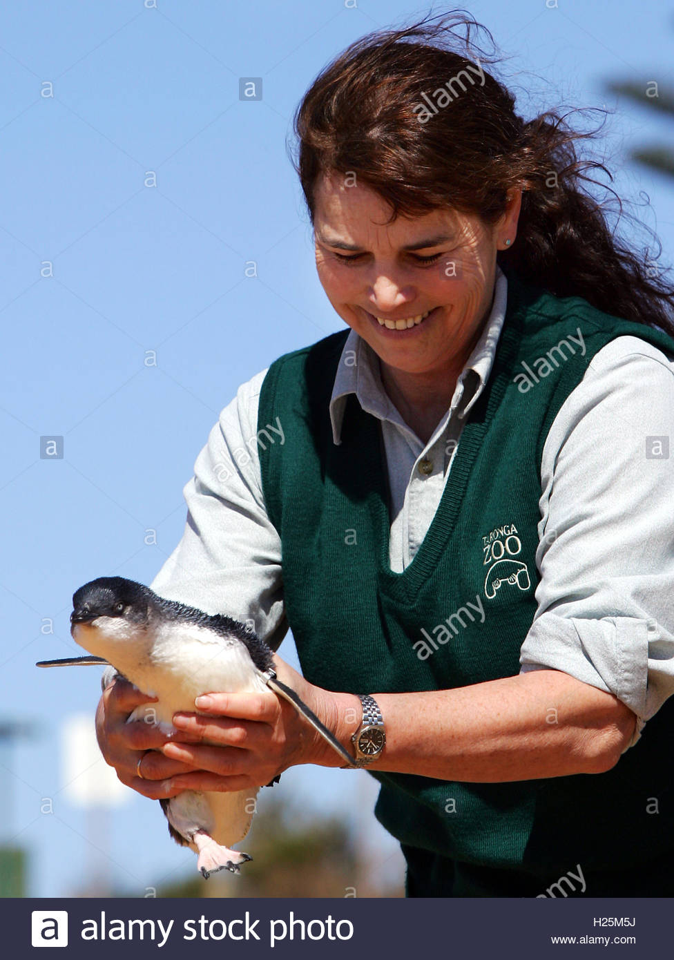 a little penguin is held by wildlife rehabilitation supervisor a little penguin is held by wildlife rehabilitation supervisor hall before being released back into the wild at collaroy beach on sydney s north shore