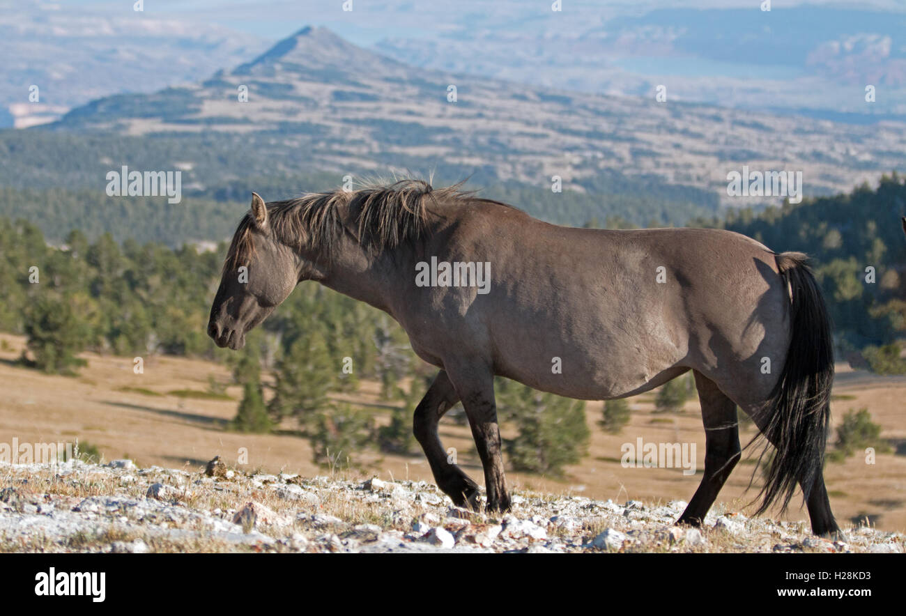 Wild Horse Grulla Gray colored Mare walking on Sykes Ridge above ...