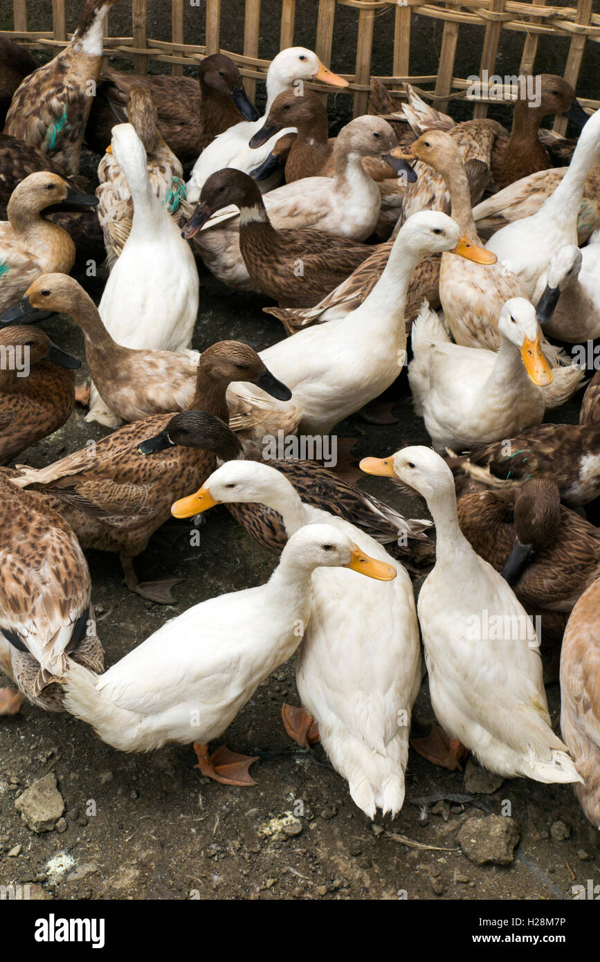 Indonesia, Bali, Tampaksiring, ducks in enclosure awaiting sale ...