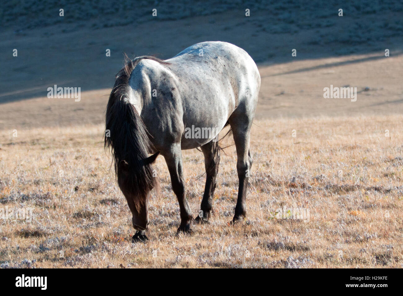 Wild Horse Blue Roan colored Band Stallion on Sykes Ridge above ...