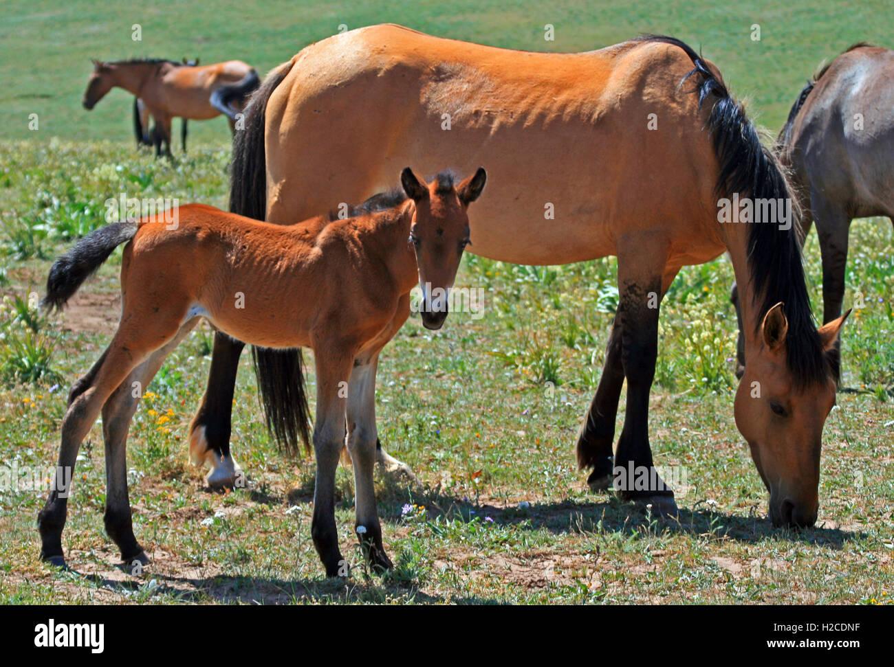 Buckskin quarter horse foal