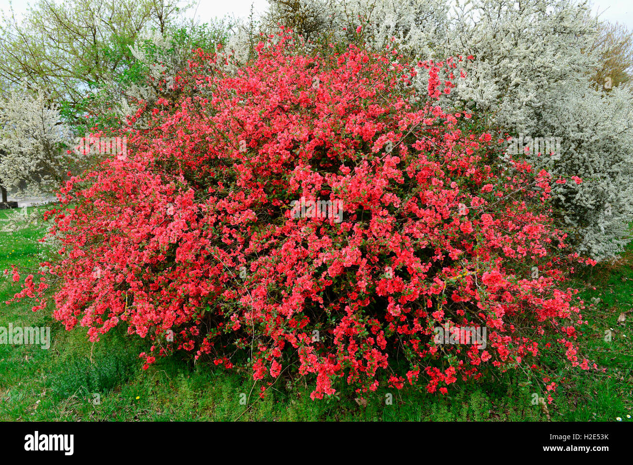 japanese quince chaenomeles japonica flowering bush germany stock photo 122013239 alamy. Black Bedroom Furniture Sets. Home Design Ideas