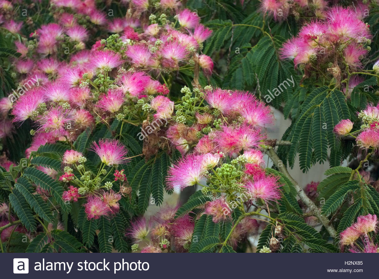 albizia julibrissin f rosea pink silk tree stock photo. Black Bedroom Furniture Sets. Home Design Ideas
