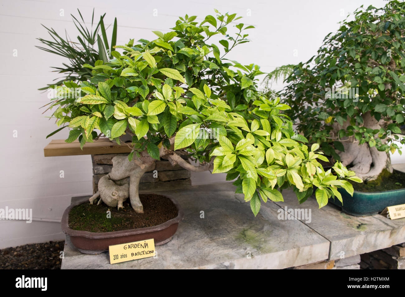 200 Years Old Gardenia Bonsai Tree. Marbella Bonsai Museum. Málaga, Costa  Del Sol.