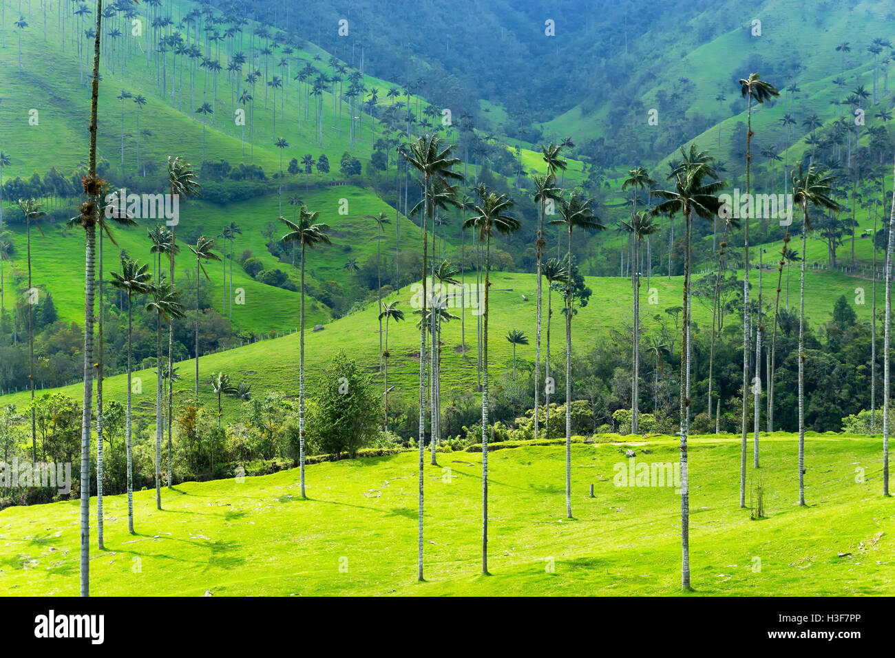 Landscape of wax palm trees in cocora valley near salento for Wax landscape