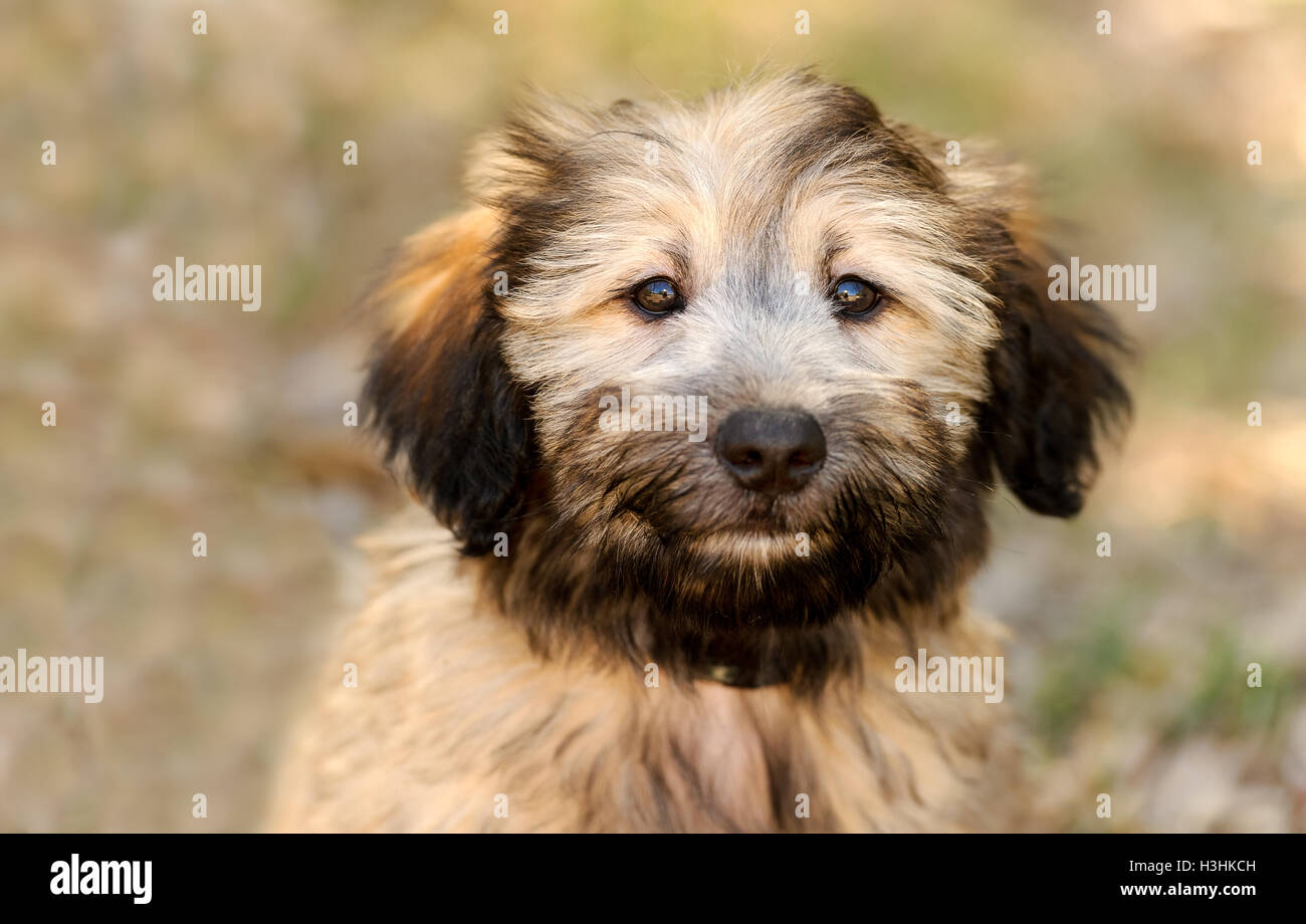 Top Fluffy Brown Adorable Dog - puppy-dog-is-an-adorable-fluffy-puppy-dog-face-looking-as-adorable-H3HKCH  Graphic_795100  .jpg
