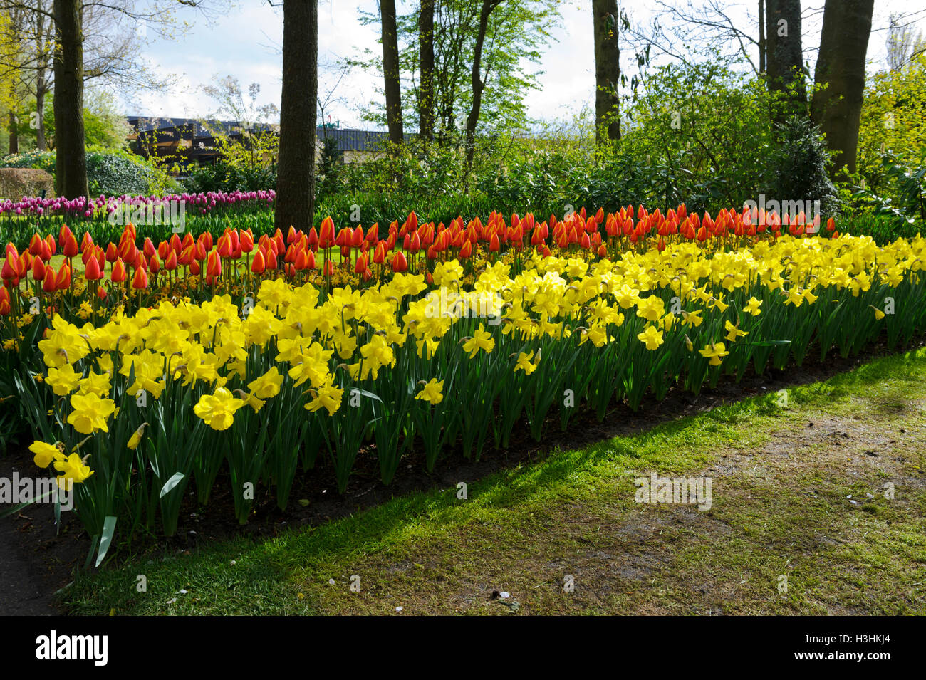 Rows Of Tulips And Daffodils In The Keukenhof Gardens In Amsterdam,  Holland, Netherlands