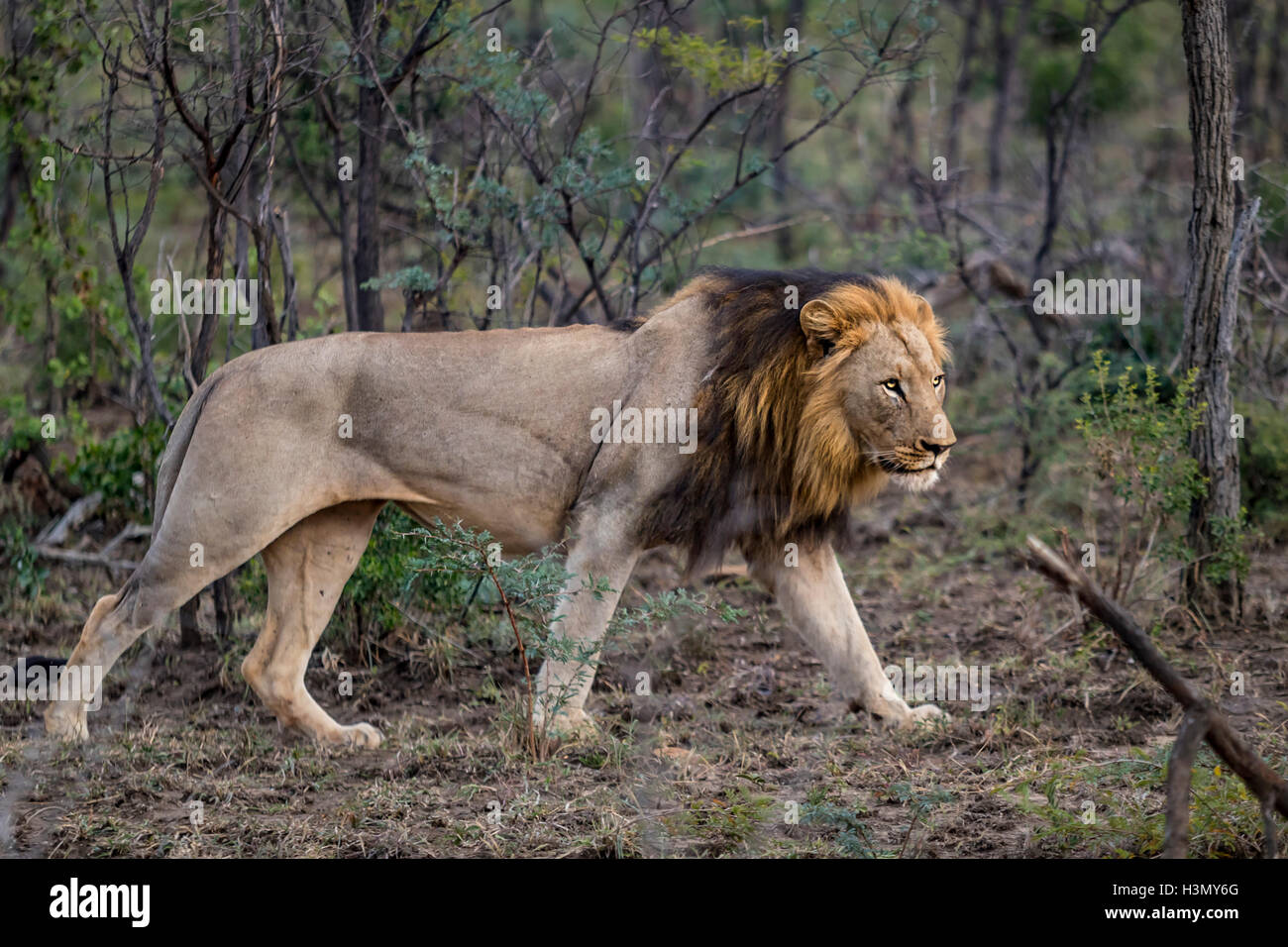 Lioness stalking prey