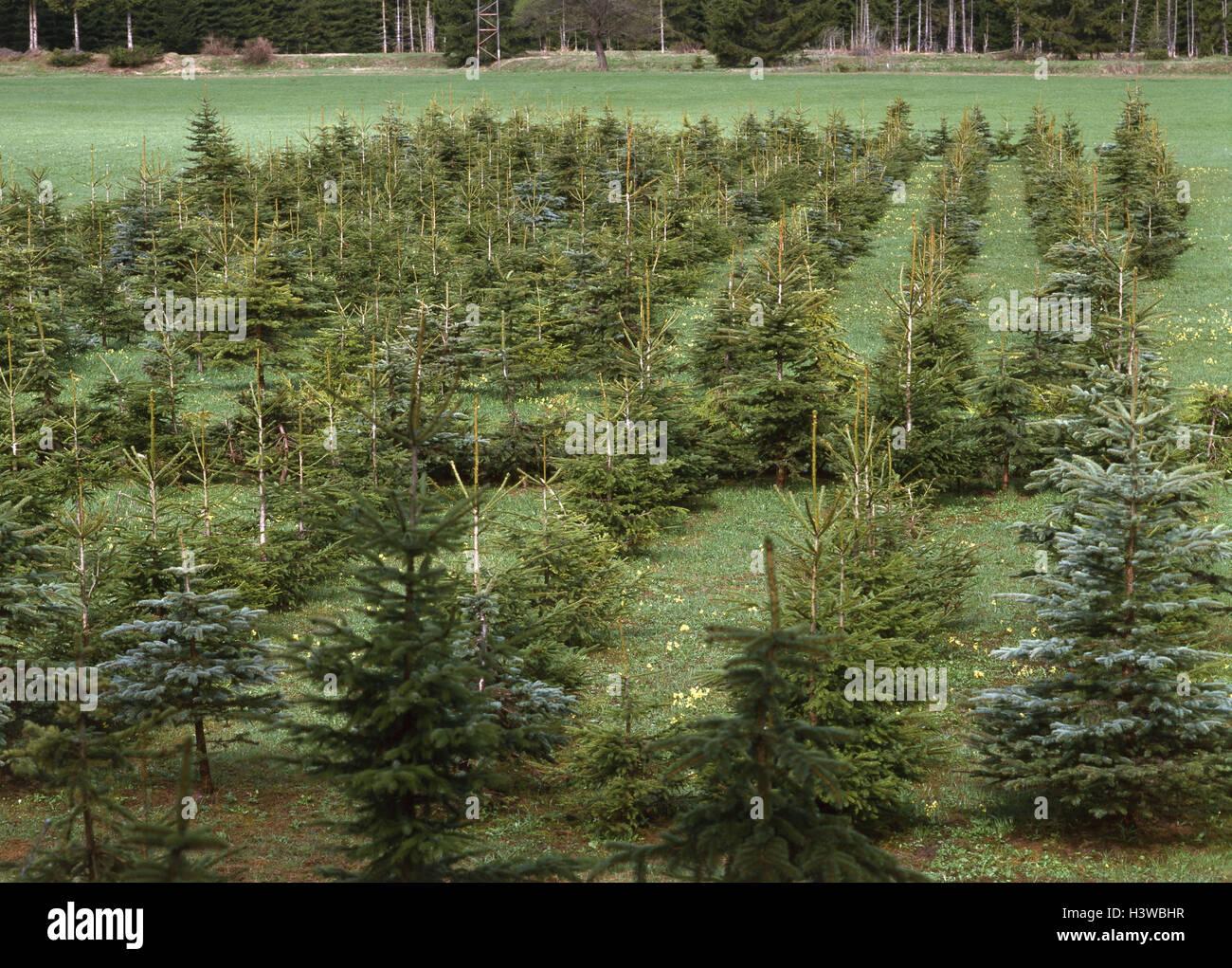 nursery garden conifers reforestation tree breeding christmas trees firs blue spruces spruces - Christmas Tree Nursery