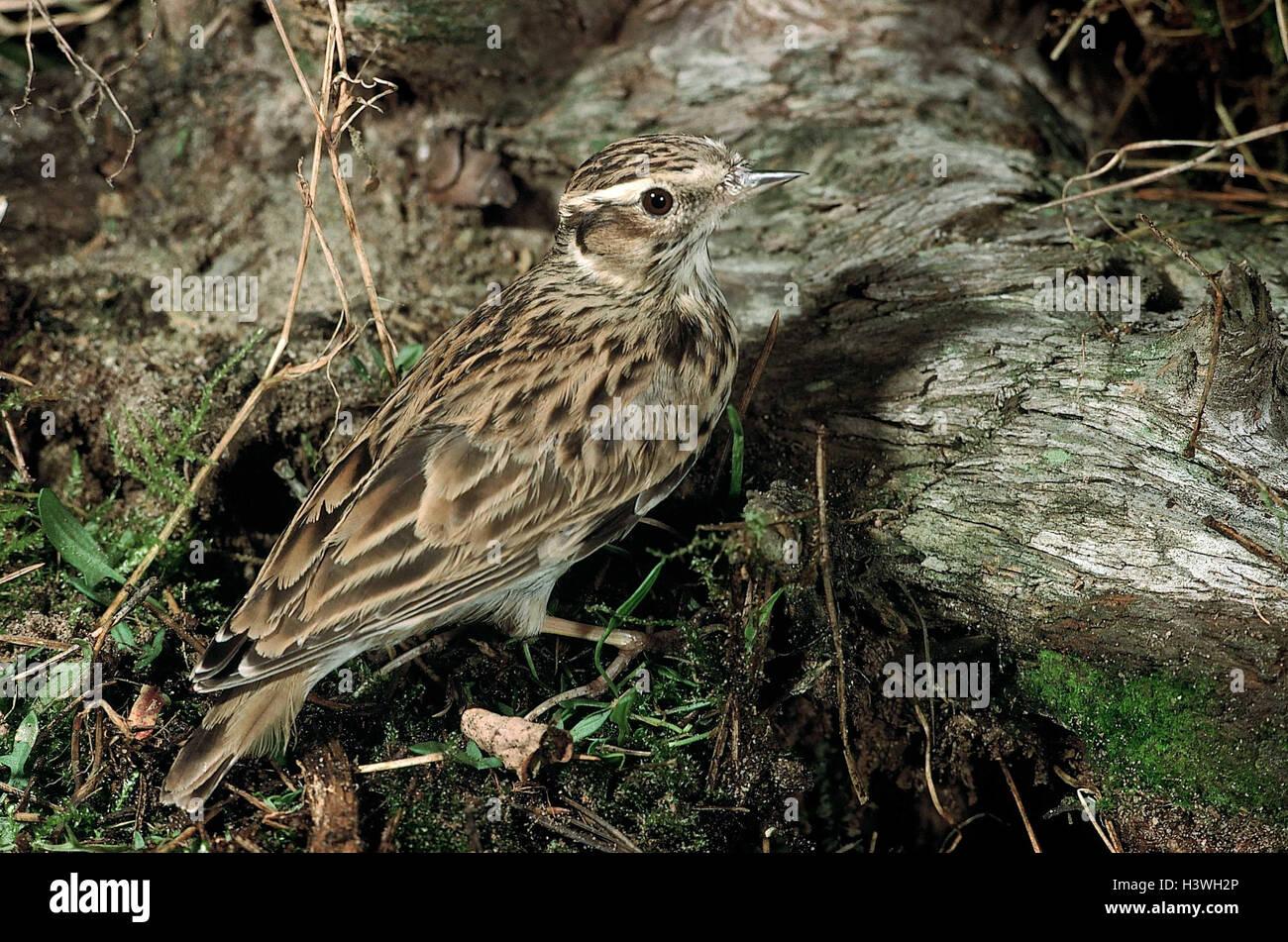 Forest Floor, Moor Lark, Lullula Arborea, Animal, Animals, Bird, Birds