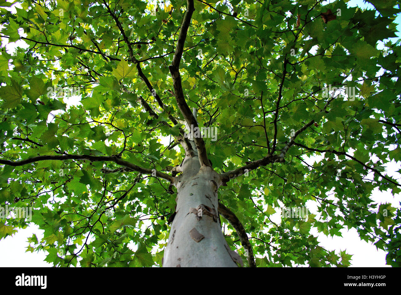 A birch tree treetop canopy & A birch tree treetop canopy Stock Photo Royalty Free Image ...