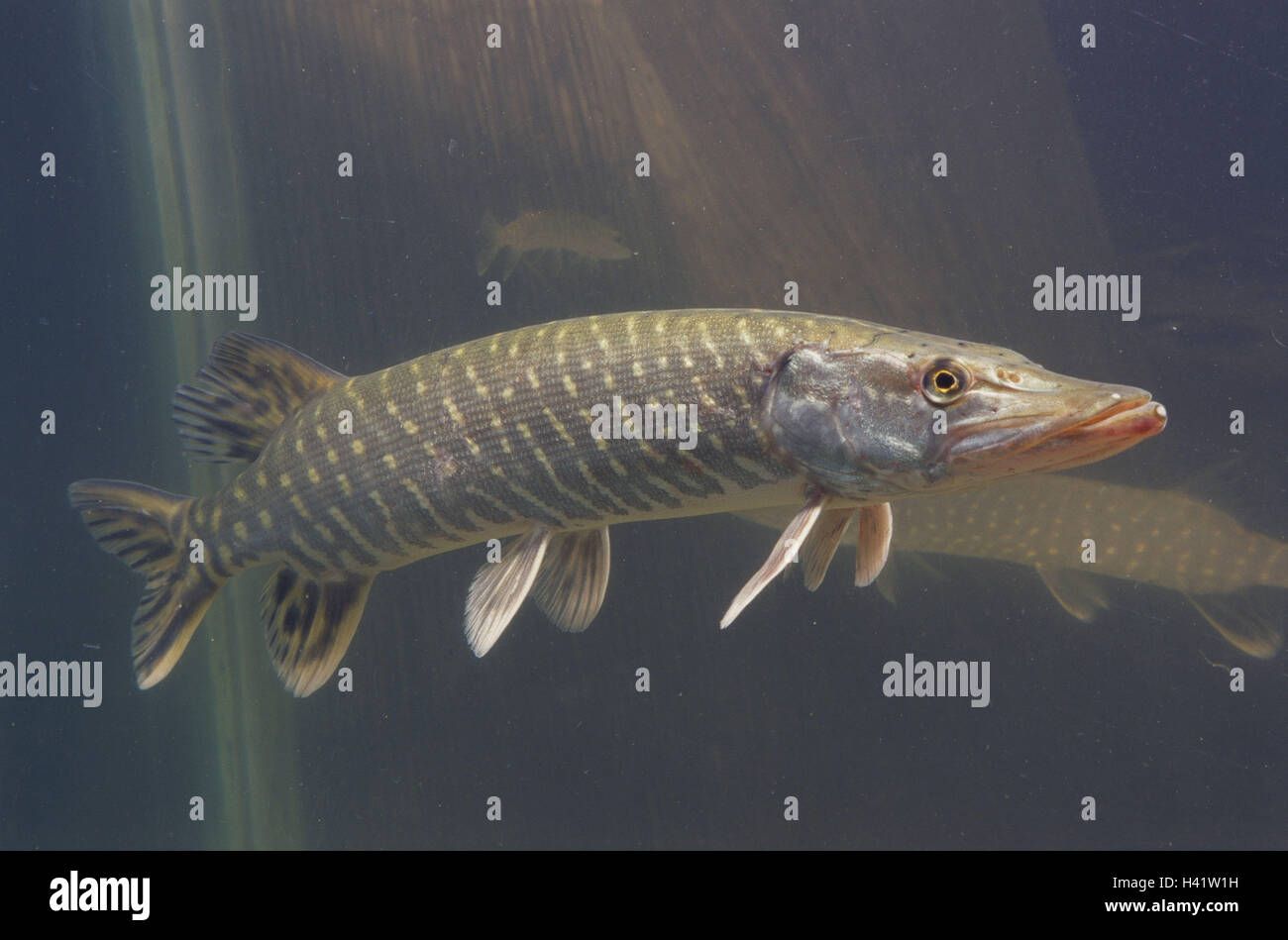 Pisciculture pike esox lucius side view waters fish for Predatory freshwater fish
