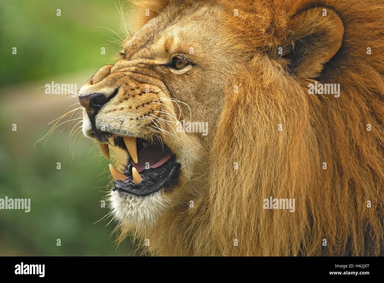 Lion, Panthera leo, furious, threatening, side portrait ...