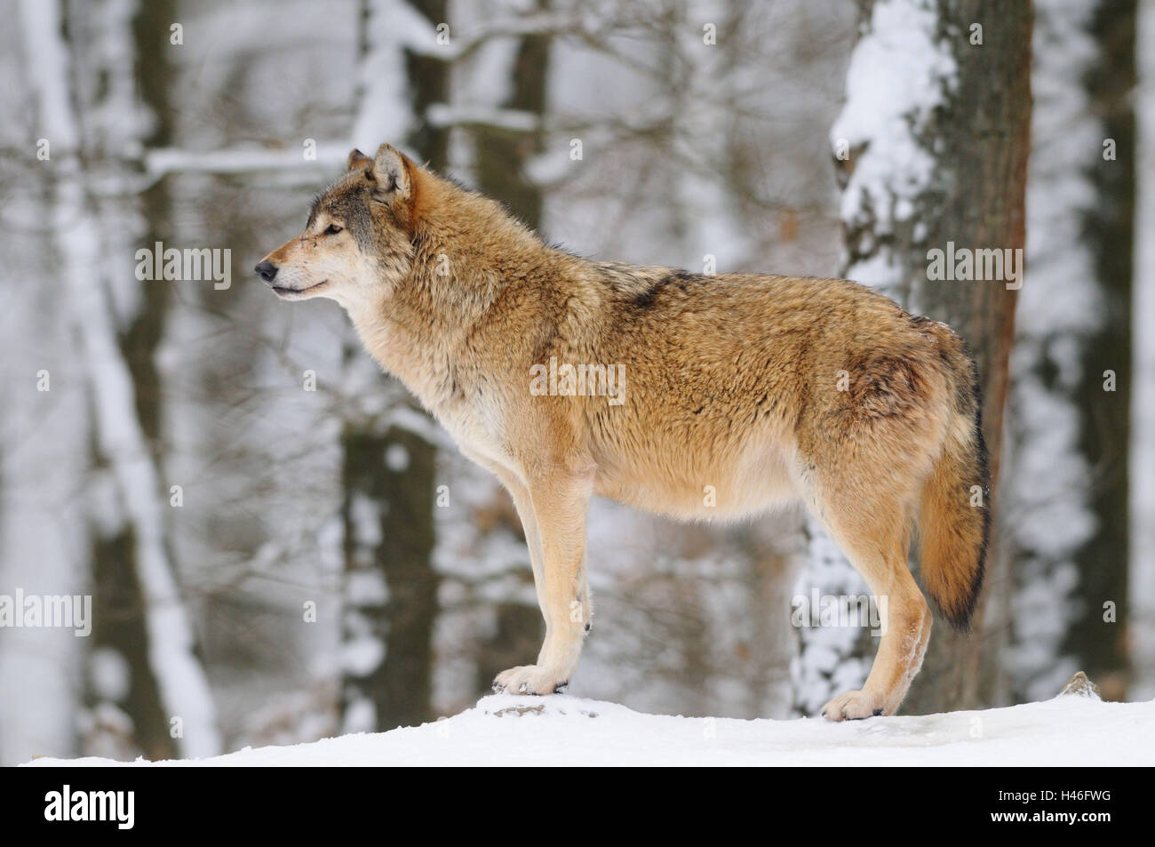 Gray Wolf  Canis lupus  Wolves of the World