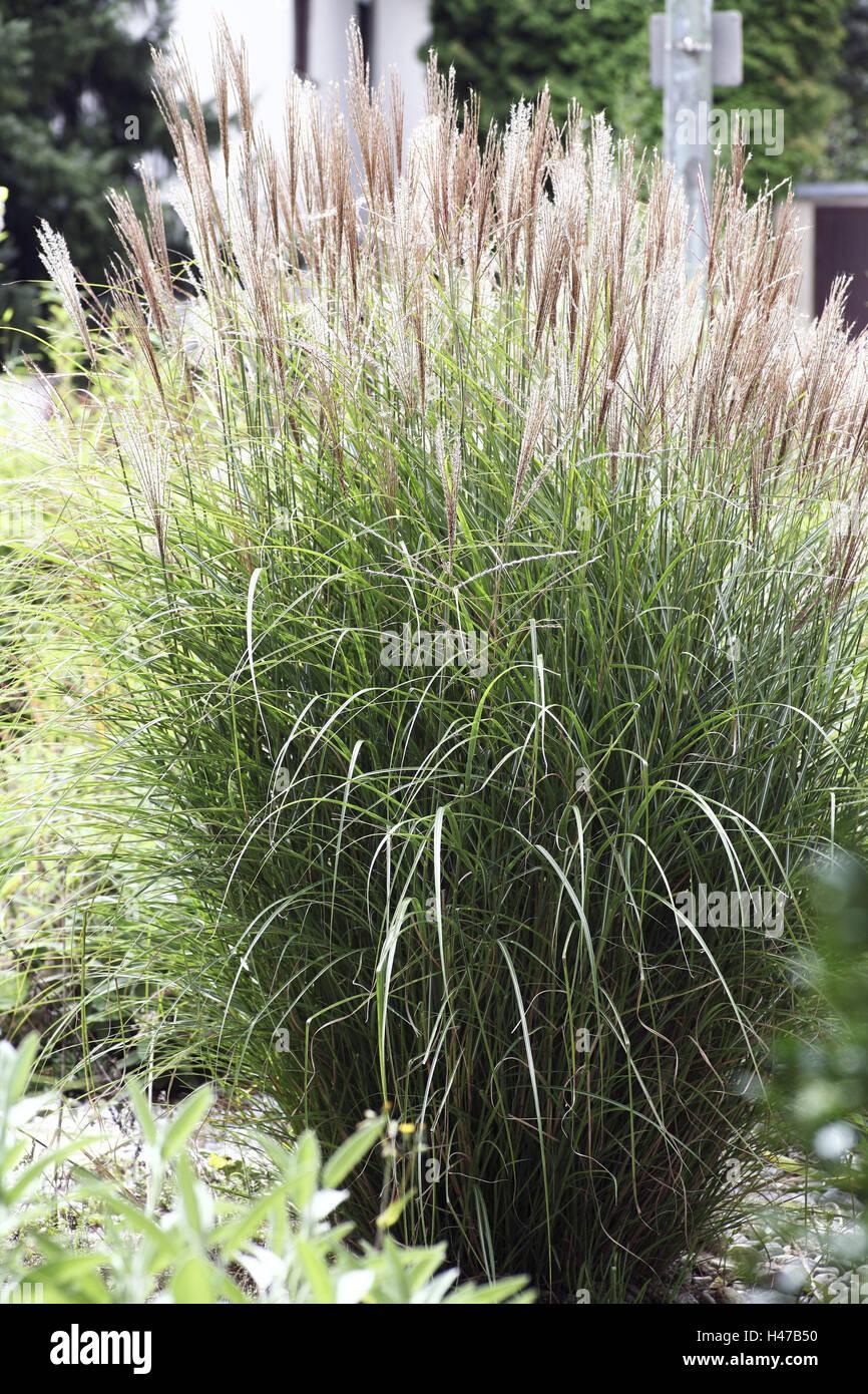 Grasses shrub grass ornamental grass garden high for Tall grass decor