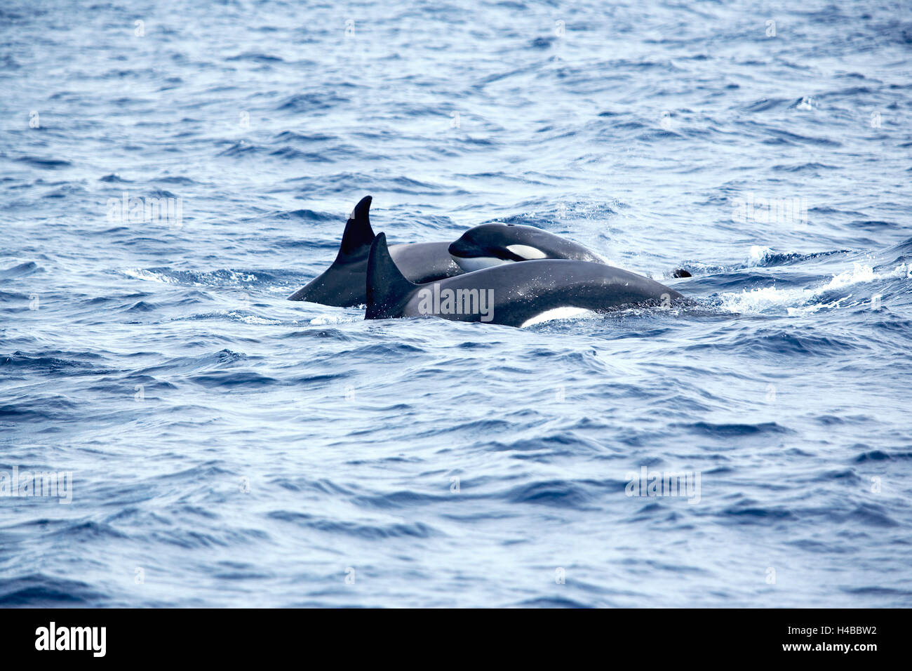 killer whales (orcinus orca) with young animal swimming together