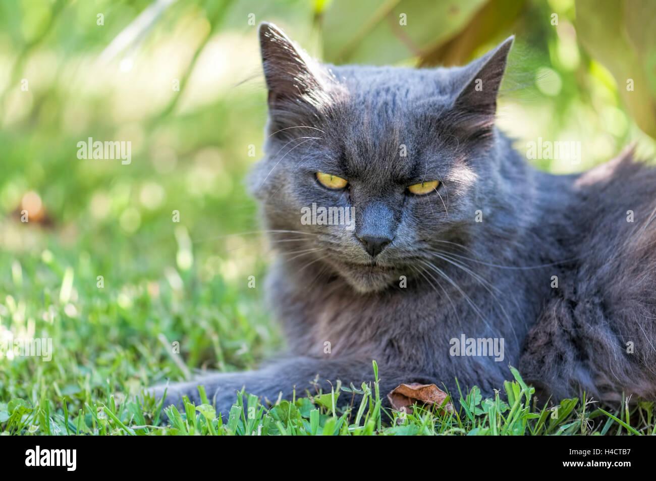 buy british shorthair cat