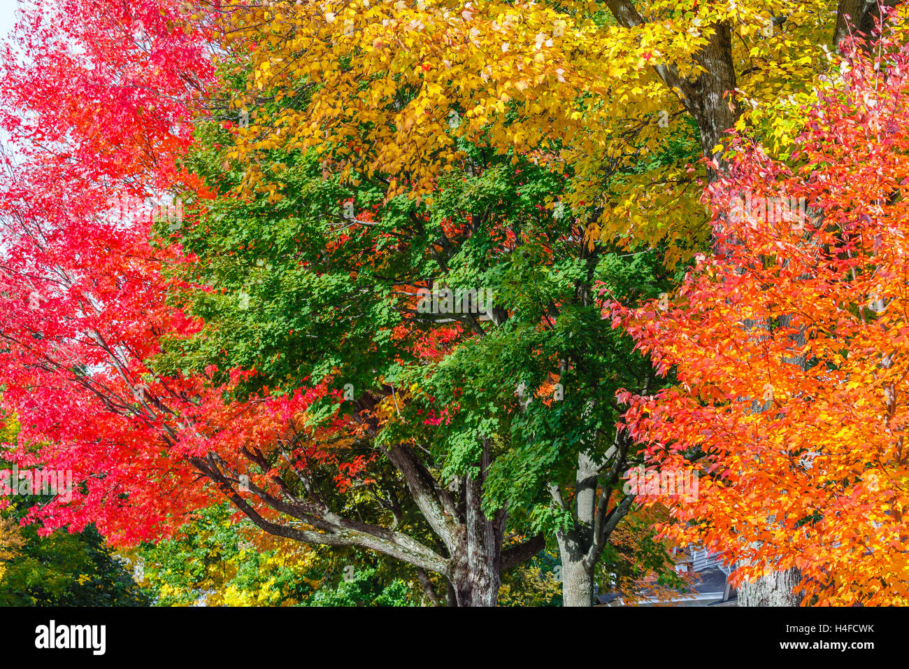 Close up of a colorful hardwood trees in October Stock Photo ...